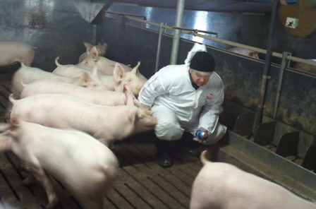March 2009 Assisting Ukrainian veterinary inspector selecting pedegree pigs at Hermitage Genetics